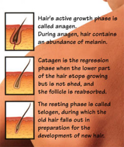 hair_growth_phases_chart